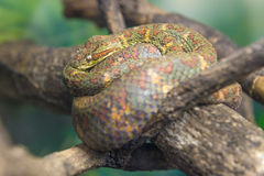 Eyelash Viper (Bothriechis Schlegelii)  slithering on a branch Royalty Free Stock Image