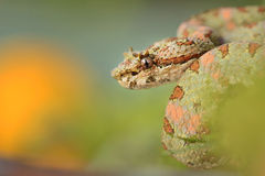 Eyelash viper close-up Stock Images