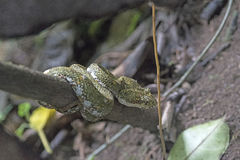 Eyelash Viper in a Cloud Forest Tree royalty free stock photo