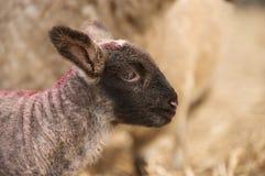 Eyelashes. Cute lamb with huge eyelashes Royalty Free Stock Photography