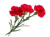 Eyelet. Three red flowers on white backround Royalty Free Stock Images