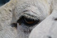 Eyelid sheep Royalty Free Stock Images
