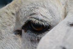 Eyelid sheep Royalty Free Stock Images