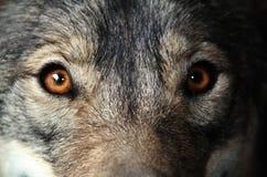 eyes золотистое Стоковая Фотография