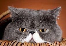 Eyes кот Стоковая Фотография
