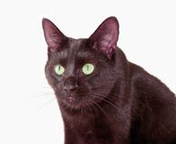 Eyes. Cats eyes with a deathly gaze Royalty Free Stock Photo