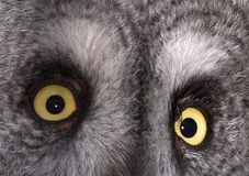 Eyes. This pair of bright yellow eyes belong to a Great Grey Owl that was photographed in the UK Royalty Free Stock Photos