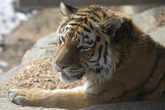 Eyes of the Amur Tiger Royalty Free Stock Image