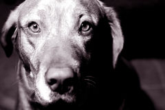 Eyes of an animal. Black and white photo of a dog Royalty Free Stock Photos