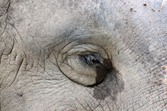 Eyes of the Asian elephant. Stock Images