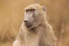The eyes of a Baboon Royalty Free Stock Photos