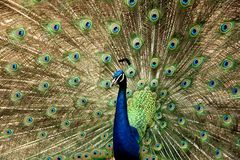 Eyes. Beautiful peacock with tail feathers open Stock Photos