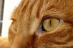 eyes of a beautiful red cat