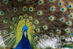 The Eyes of the Bird. A male peacock bird strutting around with his plummage on display royalty free stock images