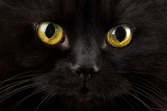 Eyes of black cat. Yellow eyes of black cat royalty free stock photo