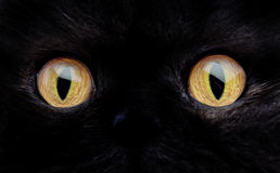 Eyes of a Black Cat Royalty Free Stock Photography