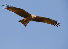 The eyes of a Black Kite Royalty Free Stock Image