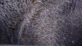 Eyes of the black moose skin