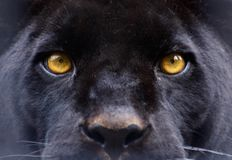 The eyes of a  black panther. Eyes of a panther staring direct at the camera Royalty Free Stock Images