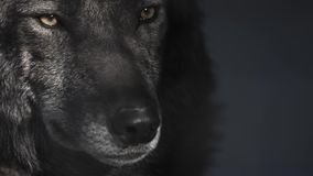Eyes of a black wolf behind bars