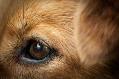 Eyes. Brown dog eyes looking at the house Stock Photography