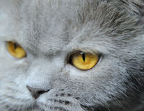 Eyes of a cat Royalty Free Stock Photos