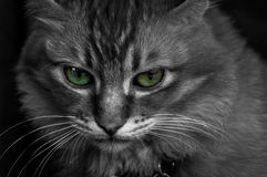 Eyes of a cat. A close up selective color shot of a domestic cat with green eyes Royalty Free Stock Photography