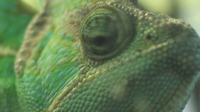 Eyes of Chameleon. Close up shot with eyes of a green chameleon, moving independently one each other stock footage
