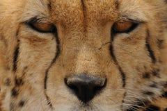 Eyes of a Cheetah Stock Image