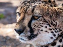 Eyes. Cheetah in Otjitotongwe Ceetah Farm, Namibia Stock Photography