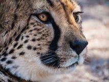 Eyes. Cheetah in Otjitotongwe Ceetah Farm, Namibia Stock Images