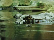 Crocodile in water. Eyes of crocodile in water Royalty Free Stock Images