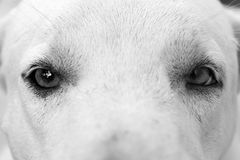 Eyes of a dog Stock Photography