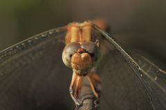 Eyes of Dragonfly Royalty Free Stock Photo