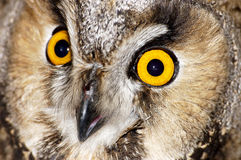 Eyes of an eagle owl 3. Portrait of a wild bird Royalty Free Stock Image