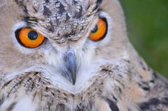 Eyes of the Eagle-owl Stock Image