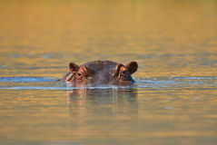 Eyes and ears of the hippopotamus. Emerging from the water of an african lake Royalty Free Stock Images