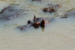 Eyes and ears of hippos. Hippos submerged in river in Africa Royalty Free Stock Image