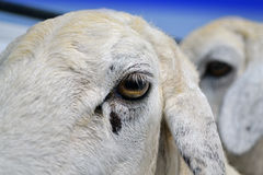 The eyes of ewes.  Stock Photo