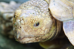 Eyes expression  of Turtle. Eyes expression  and Head of Turtle Royalty Free Stock Images