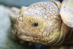Eyes expression  of Turtle. Eyes expression  and Head of Turtle Royalty Free Stock Photo
