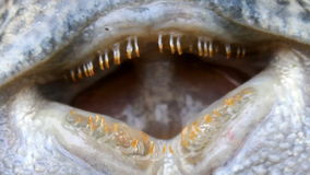 Eyes  of fish. Eyes and mouth of fish stock video footage
