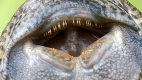 Eyes  of fish. Eyes and mouth of fish stock footage