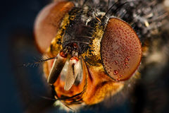 Eyes flies in the dew Stock Photo