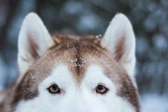 Eyes and fluffy ears of Siberian husky in winter forest royalty free stock photos