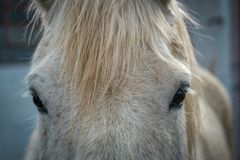 Eyes and forelock of a dappled white horse royalty free stock image