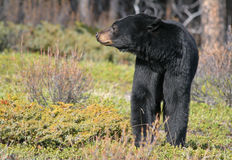 Eyes of the Forest. Black bear checking the surroundings Stock Images