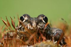 Eyes of frog Royalty Free Stock Photography