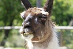 Eyes and Fur, Llama head shot Stock Image