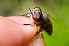 eyes gadfly Стоковая Фотография RF